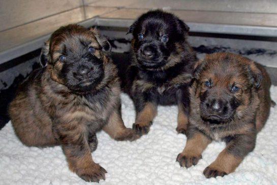 pups.jpg.size.xxlarge.promo